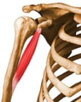 Anatomía: Músculos del brazo