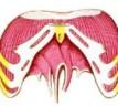 Anatomía: Músculo Diafragma