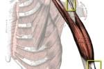 Anatomía: Músculo, tendón y ligamento