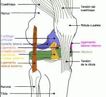 Anatomía de la rodilla 1