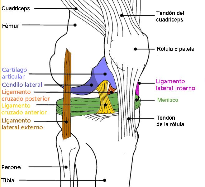 Anatomía y desarrollo de los isquiotibiales - Punto Fape