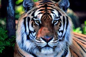 Tigre de Shaolin