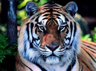 Tigre de Shaolin 1