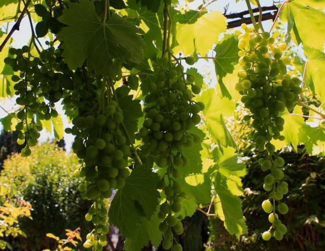 Propiedades nutricionales de las uvas 1