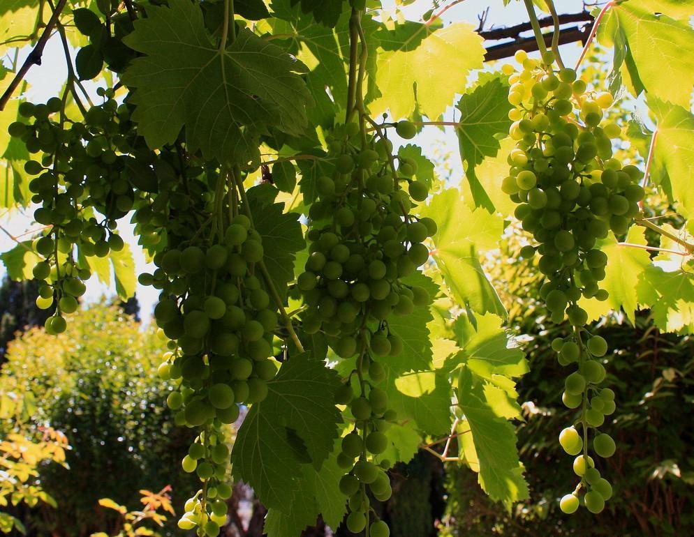 Propiedades nutricionales de las uvas