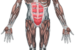 El Sistema muscular 1