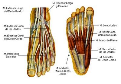Anatomía funcional del pie  4
