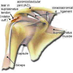 Anatomía del hombro
