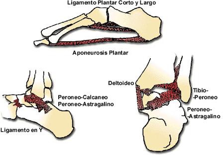 Anatomía funcional del pie  2