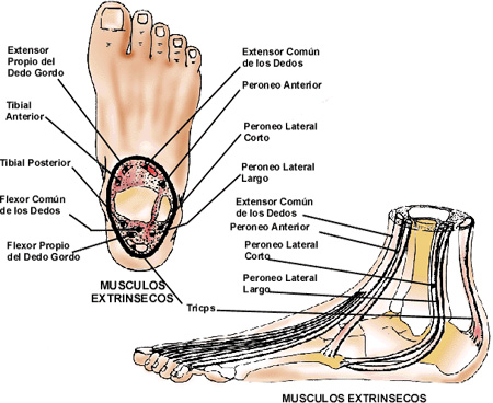 Anatomía funcional del pie - Punto Fape