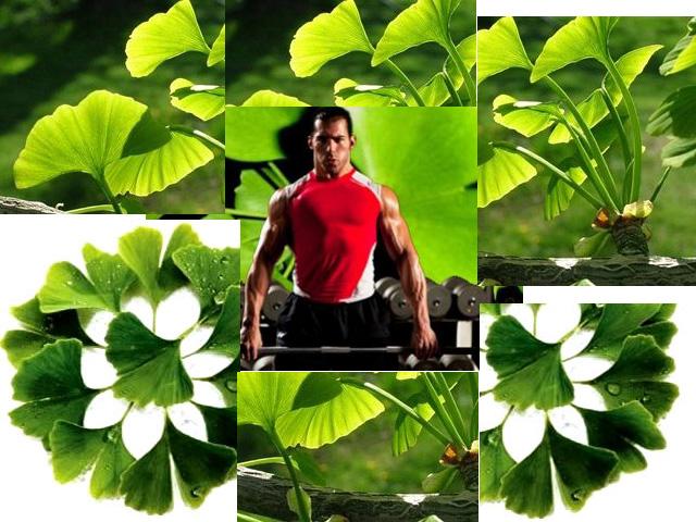 Extracto Ginkgo Biloba fortalece los huesos
