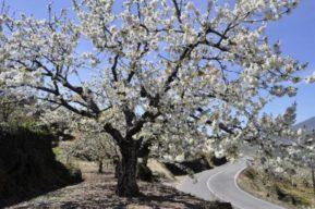 Senderismo en primavera, Jerte y los cerezos en flor